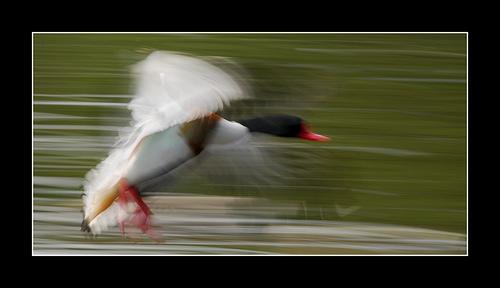 Duck tony riley